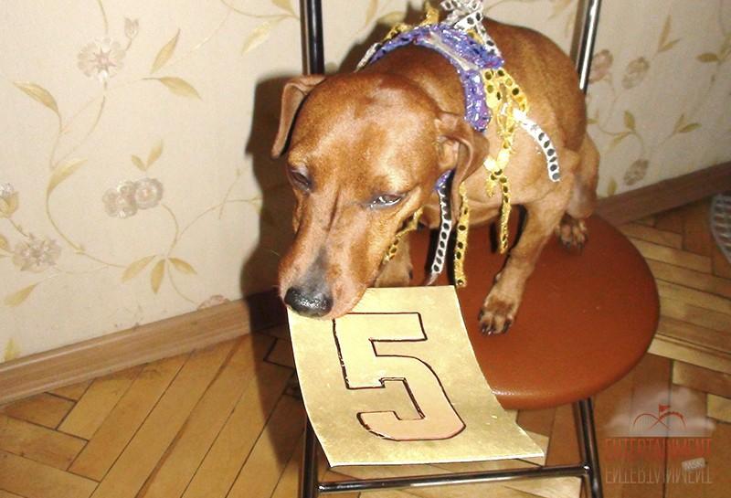 Дрессированная собачка-математик